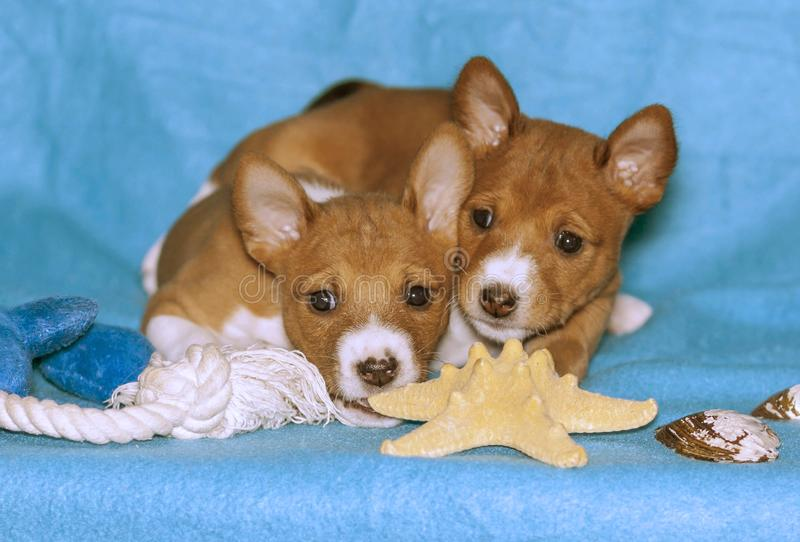 Basenji的两只小狗在蓝色背景养殖 免版税库存图片