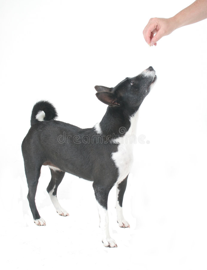basenji που είναι σκυλί που ταΐ&z στοκ φωτογραφίες με δικαίωμα ελεύθερης χρήσης