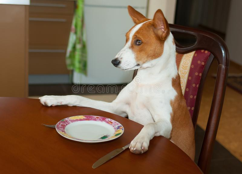 Basenji сидит на обеденном столе и ждет обслуживание мастер-кельнером стоковые фотографии rf