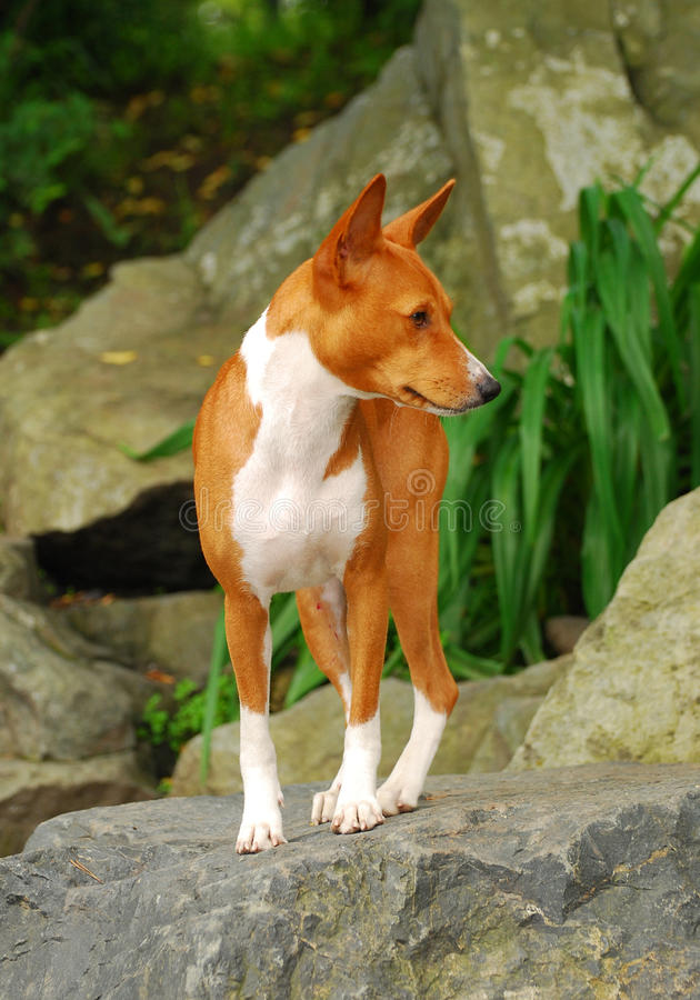 Basenji fotos de stock