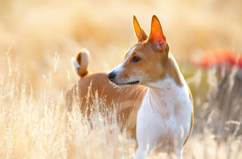 Basenji stockfotos