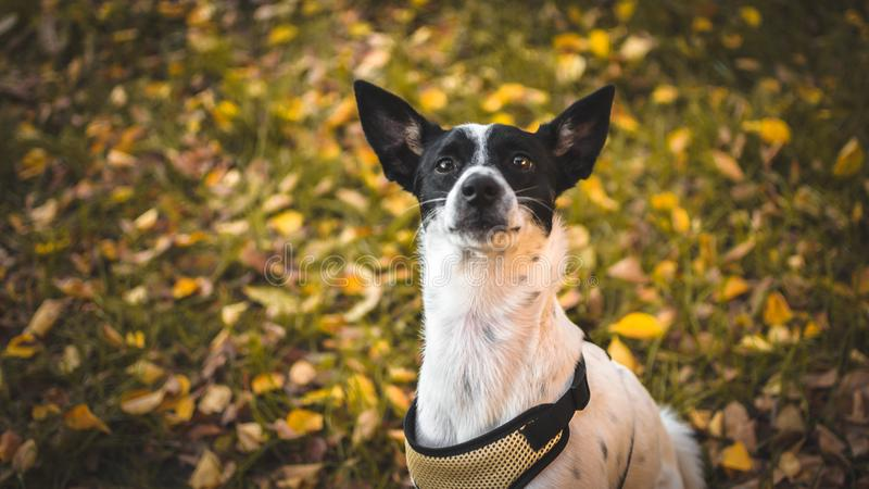Basenji on autumn yellow-orange background in the backyard. Photo of a domestic dog of a nine month old beautiful Basenji white puppy with a black speck with royalty free stock image