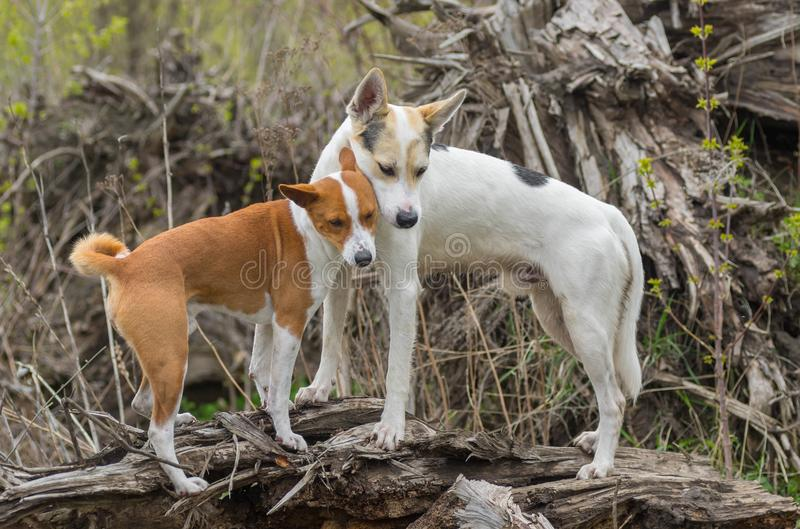 Basenji with cross-breed dog standing on a root of fallen tree royalty free stock photos