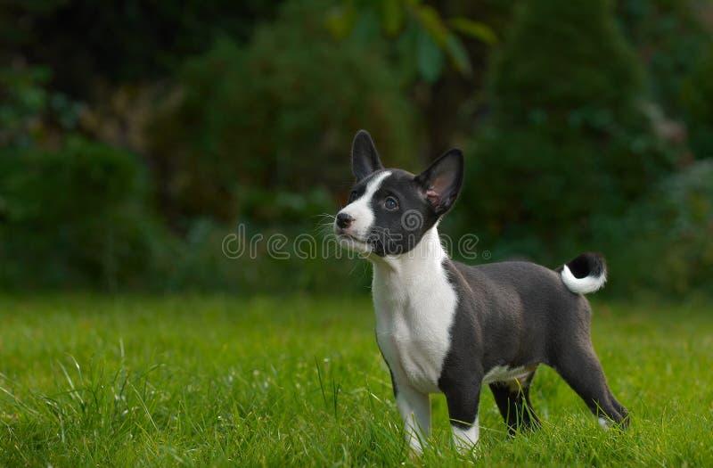 Basenji do filhote de cachorro de Litle fotografia de stock