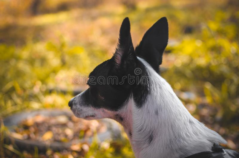 Basenji dog from behind, inspirational photo of a dog looking into the distance. Photo of a domestic dog of a nine month old beautiful Basenji white puppy with a royalty free stock photos