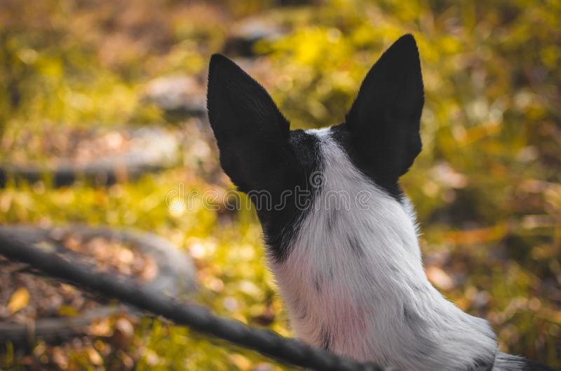 Basenji dog from behind, inspirational photo of a dog looking into the distance. Photo of a domestic dog of a nine month old beautiful Basenji white puppy with a stock images