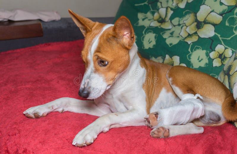 Basenji dog with broken bandaged hind feet resting on a sofa. Sad basenji dog with broken bandaged hind feet resting on a sofa royalty free stock images