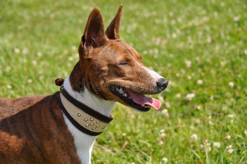 Basenji dog with a collar royalty free stock photo