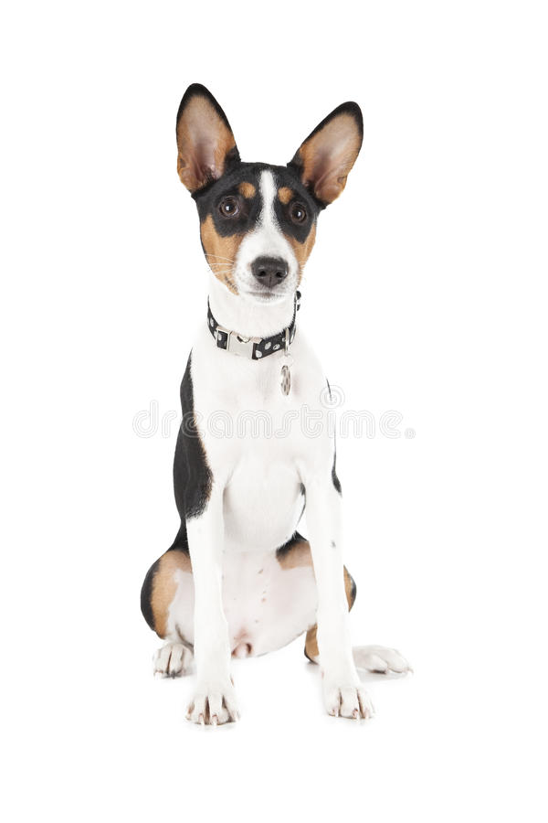 basenji dog stock image image of obedient canine awaiting 32946565. Black Bedroom Furniture Sets. Home Design Ideas