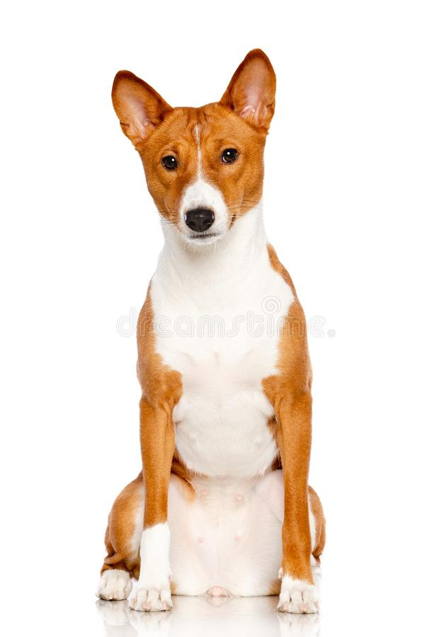 Basenji Dog on white Background. In studio royalty free stock photo