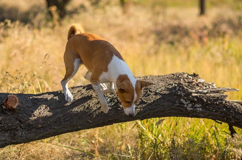 Basenji dog jumping off a fallen tree. Wild Basenji dog jumping off a fallen tree royalty free stock image