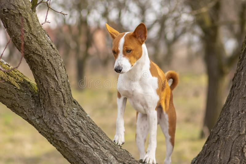 Basenji dog looking down while standing on a tree royalty free stock photo
