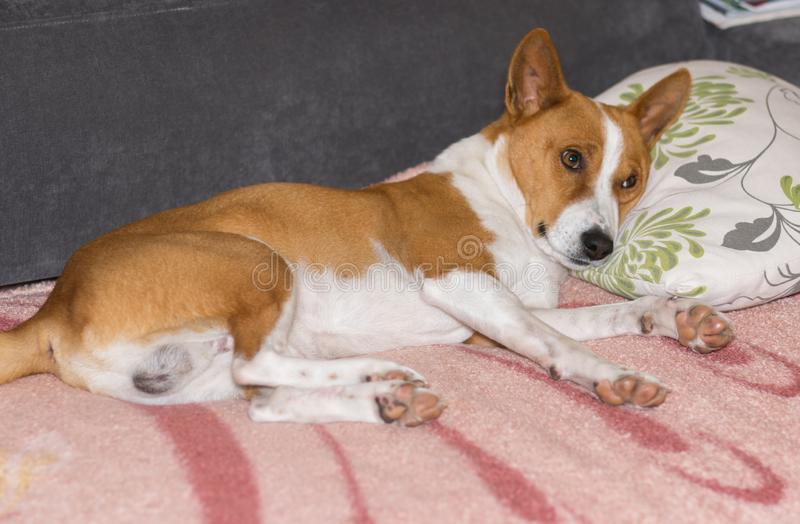 Basenji dog lying on a sofa and ready to sleep on a masters pillow royalty free stock image