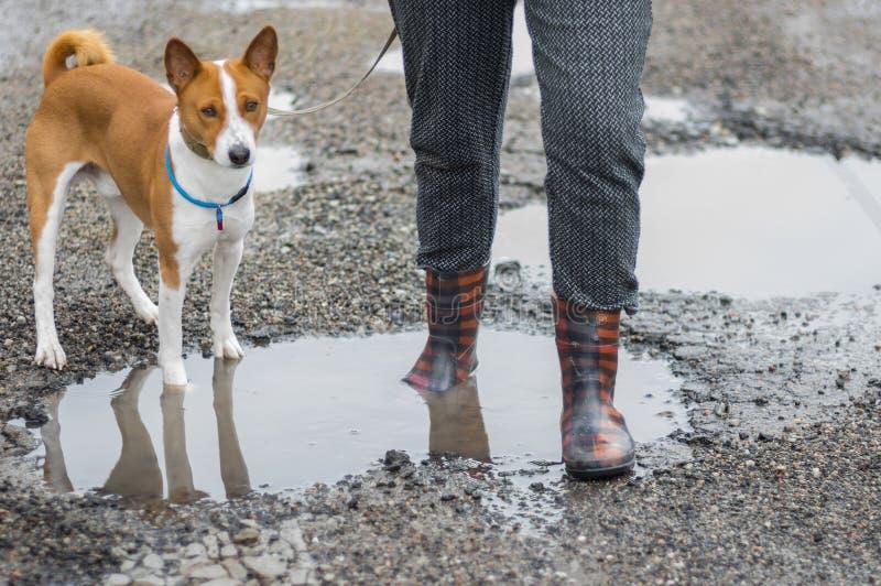 Basenji dog with master wearing wellingtons walking through rain-water pools stock photography
