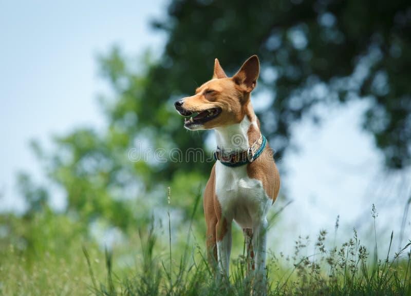Basenji dog in a park. Portrait stock photo