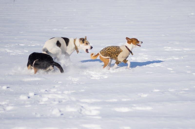 Basenji dog playing with black and white mixed breed dogs. Basenji wearing winter coat playing with black and white mixed breed dogs at winter season stock photos