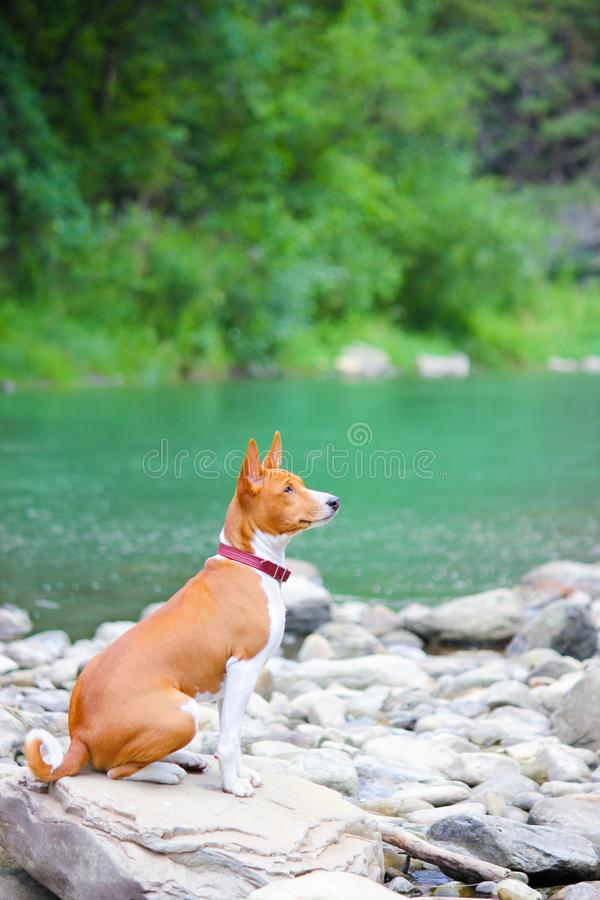 Basenji dog on the river. Purebred gorgeous dog. stock photography