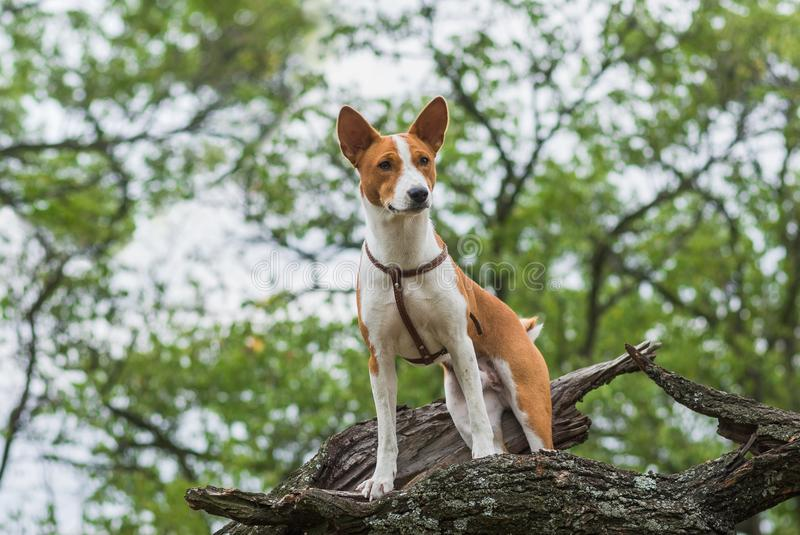 Basenji dog standing on a tree branch and looking down stock photography