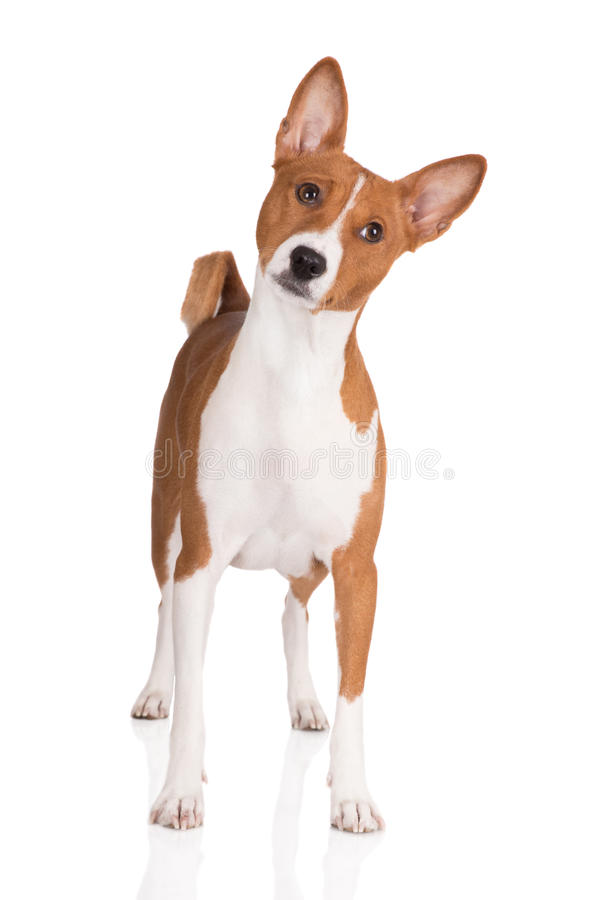 Basenji dog standing on white stock photos
