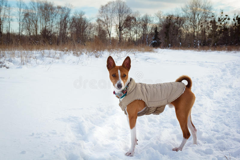 Basenji dog walking in winter forest royalty free stock photos