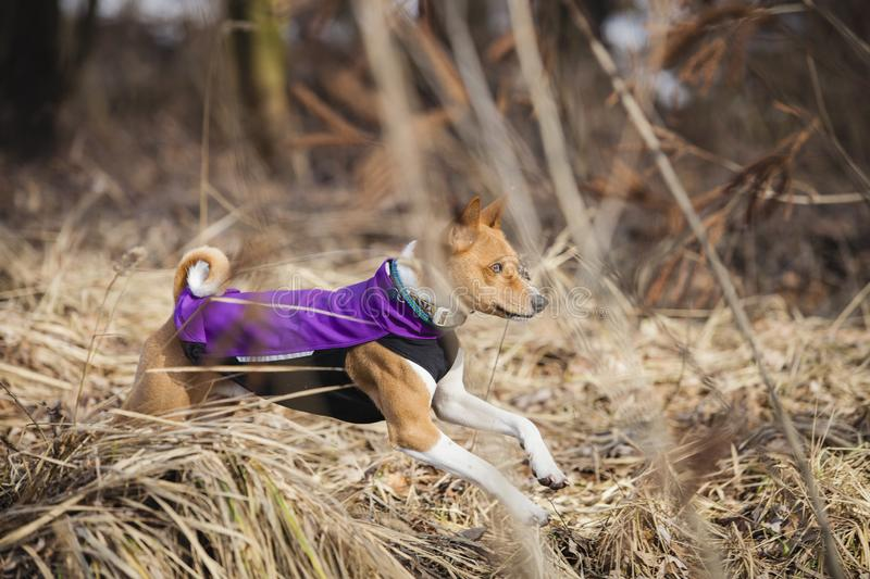 The Basenji dog walks in the park royalty free stock images