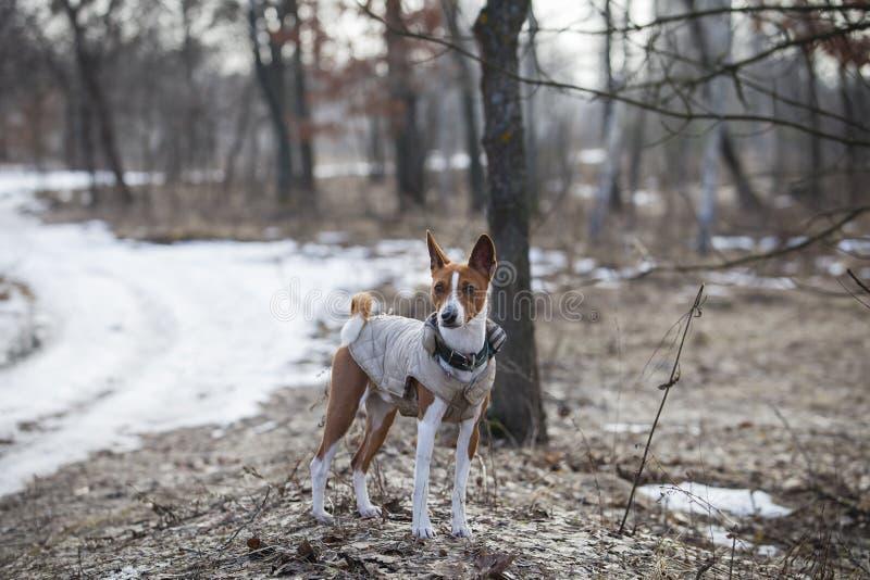 The Basenji dog walks in the park royalty free stock photo
