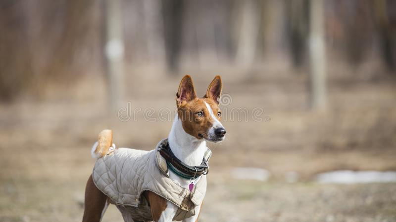 The Basenji dog walks in the park royalty free stock image