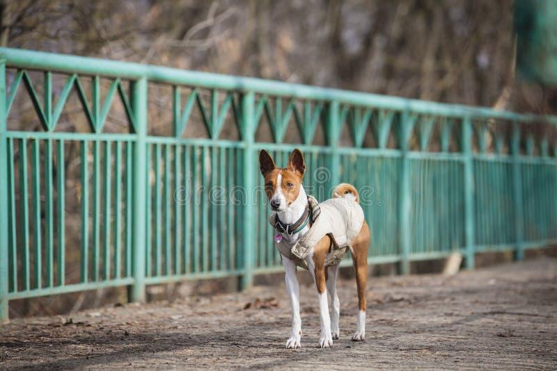 The Basenji dog walks in the park stock photography