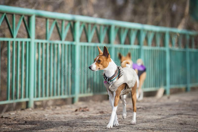 The Basenji dog walks in the park stock image