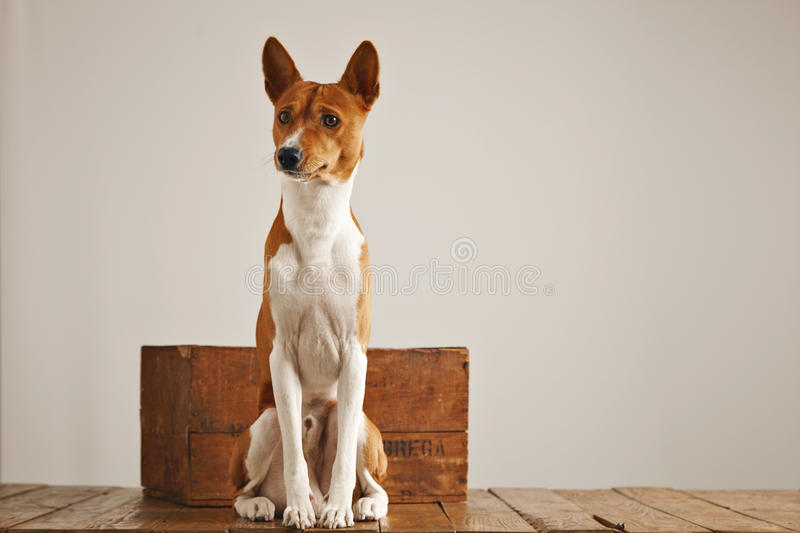 Basenji dog with a wooden wine crate. Cute brown and white basenji dog sitting up next to a small vintage wooden box in a studio with white walls stock image