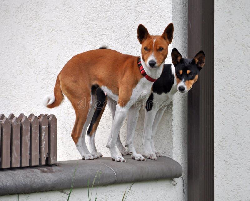 Basenji dogs stock photography