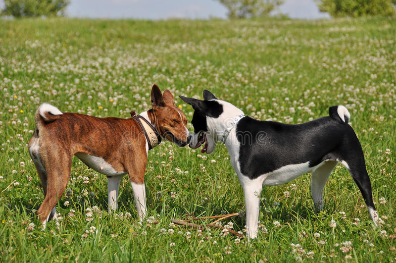 Basenji dogs sniffing each other stock photography