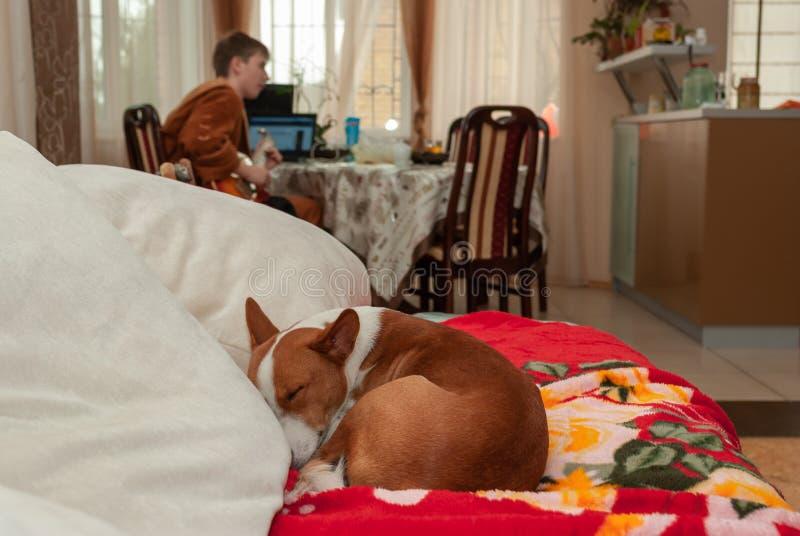 Basenji dormant sur le sofa tandis que guitare de jeu principale images libres de droits