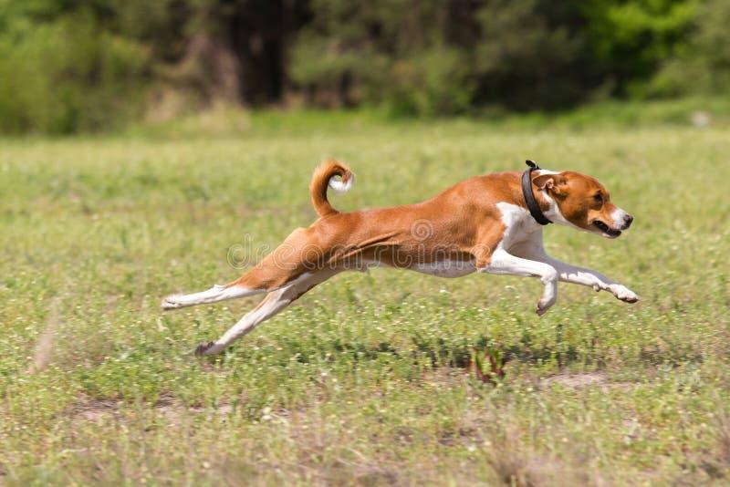 Basenji fonctionnant à travers le champ courir photo libre de droits