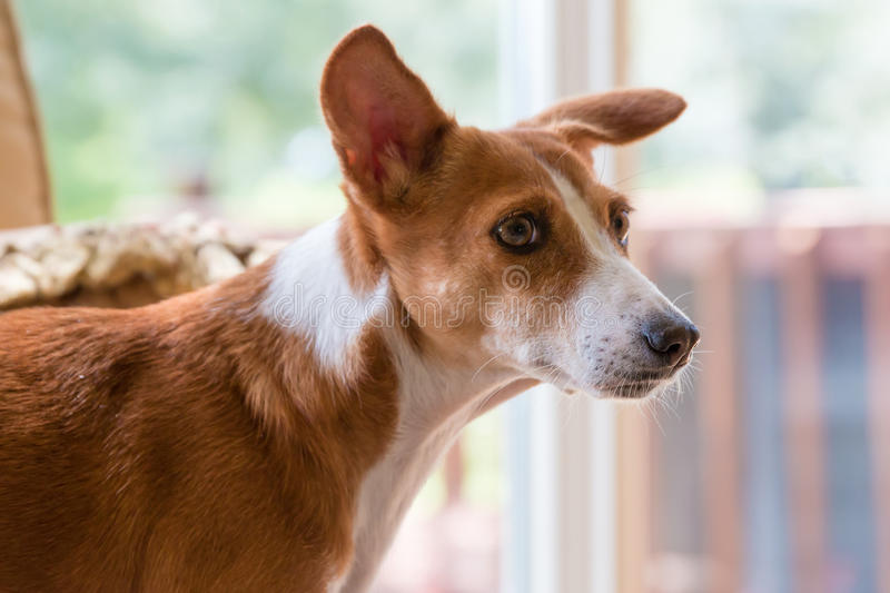 Basenji Hound dog. Basenji hound mix breed dog side view looking curious worried apprehensive alert uneasy uncertain unsure stock photo
