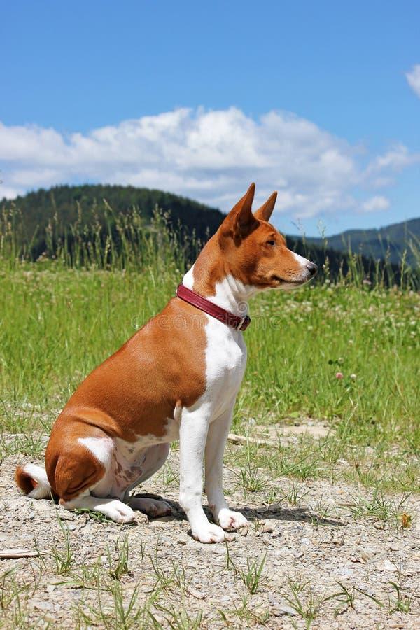 Basenji hund i bergen i natur Fullblods- ursnyggt rött gör royaltyfria bilder