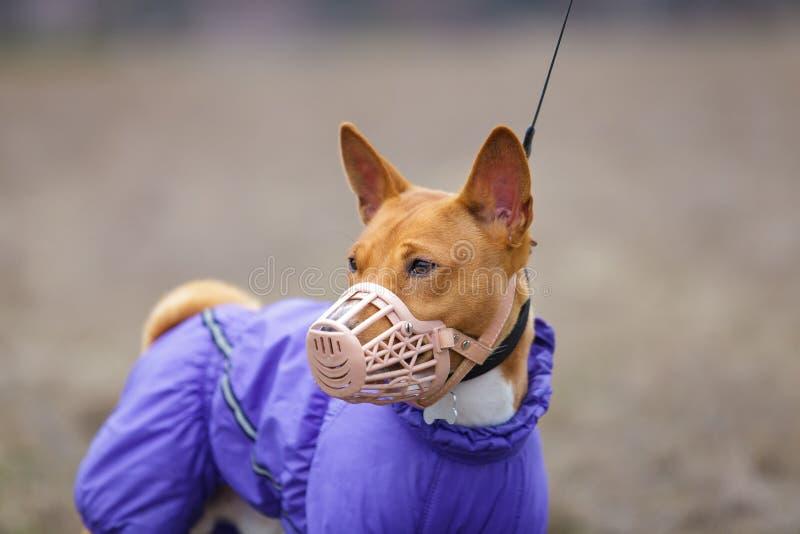 Basenji hund i en tysta ned för att jaga tidig fjäder royaltyfria foton