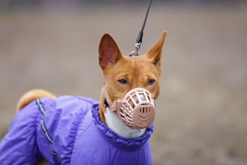 Basenji hund i en tysta ned för att jaga tidig fjäder arkivbilder