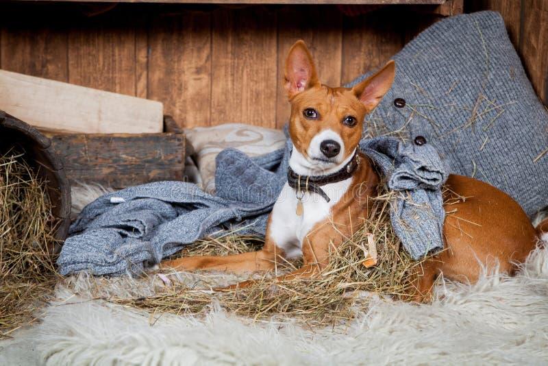 Basenji-hund i ladugård royaltyfria bilder
