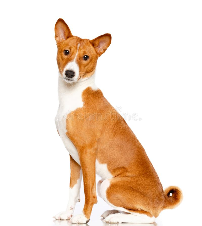 Basenji hund på vit bakgrund royaltyfri bild