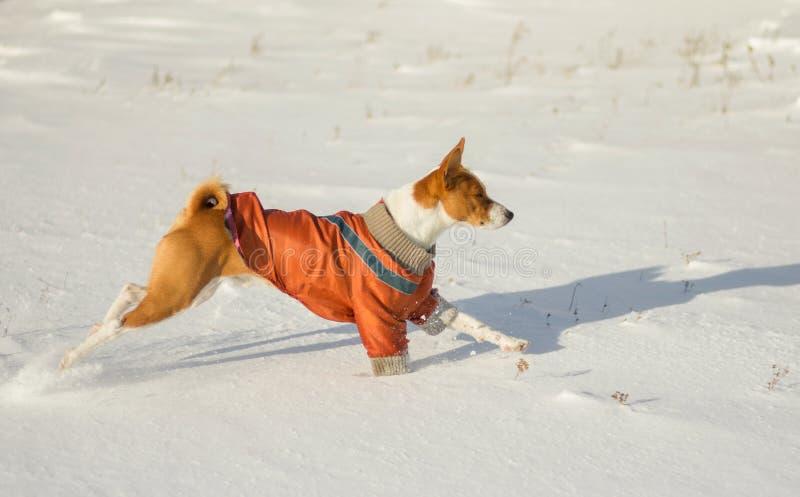 Basenji hund som galopperar i ny snö fotografering för bildbyråer