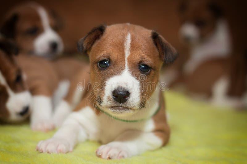 Basenji mignon de chiot de chien photos stock