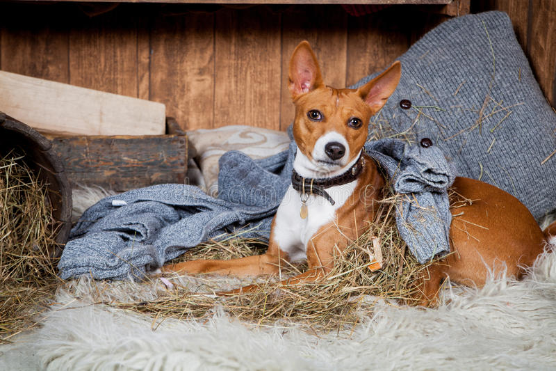 Basenji-perro en granero imágenes de archivo libres de regalías