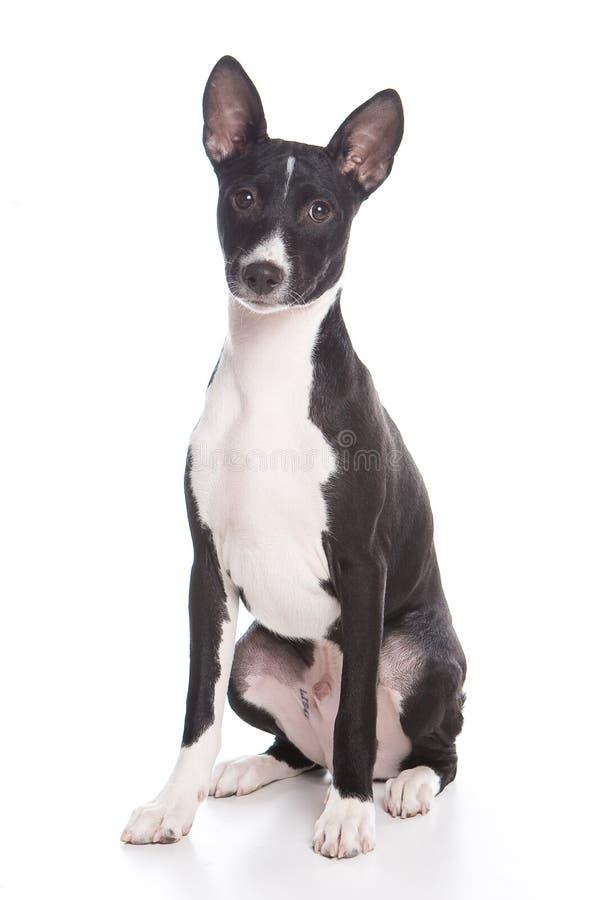 basenji pies zdjęcie royalty free