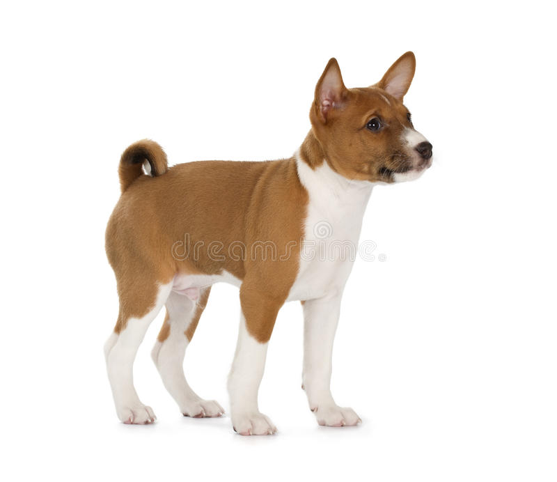 Basenji puppy stock image