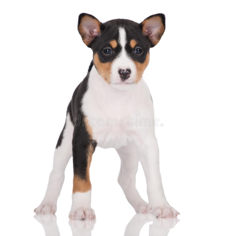 Basenji Puppy Posing On White Stock Photo - Image of ...