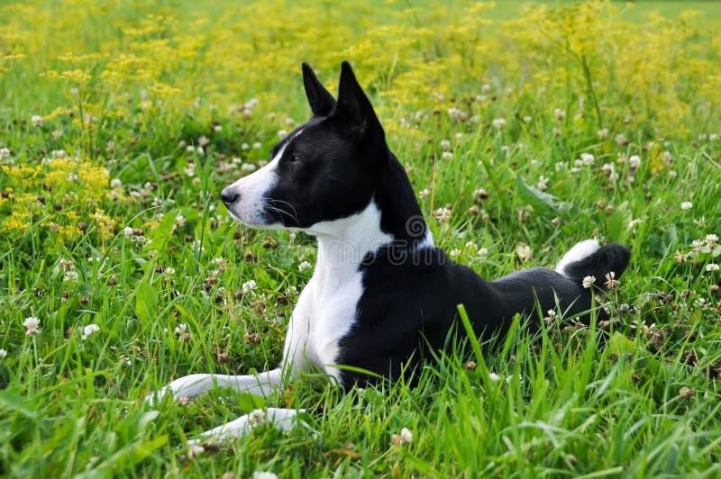 Basenji svart hund på gräset royaltyfri foto