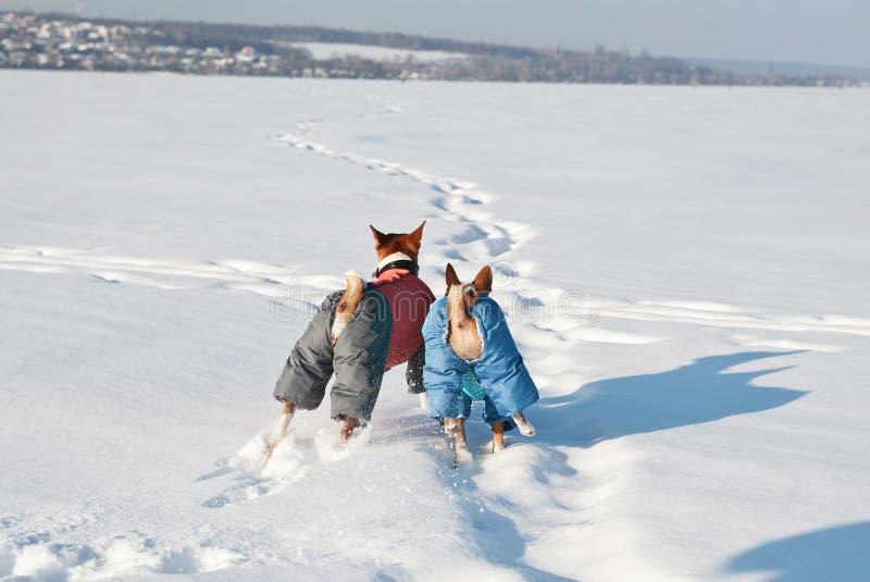 Basenji två i roliga hunddräkter som spelar i snön royaltyfri fotografi