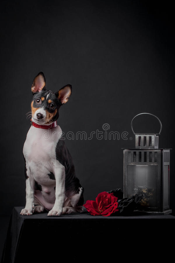 Basenji valp, 3 månad på en svart bakgrund royaltyfria bilder