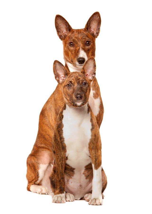 basenjien dogs två arkivbilder